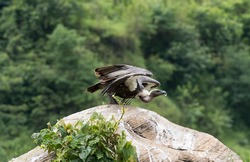 white rumped vulture about to takeoff from the  stone