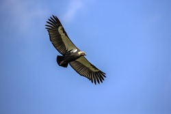 White-rumped vulture flying close up in the nature.