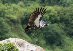 white rumped vulture takeoff image with both wings open