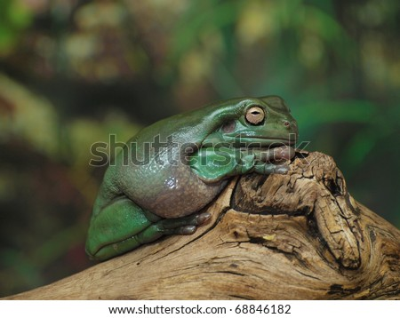 White's Dumpy Tree Frog on a branch