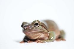 White's Tree frog, Australian green tree frog (Ranoidea caerulea)