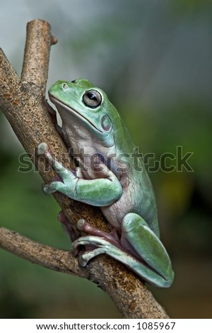 White's tree frog or Dumpy tree frog (Litoria caerulea) from Papua hanging on a stick