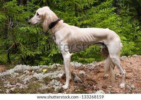 White saluki standing a summer forest