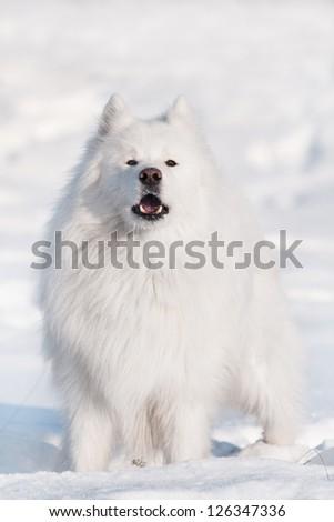 white samoyed dog barking #126347336