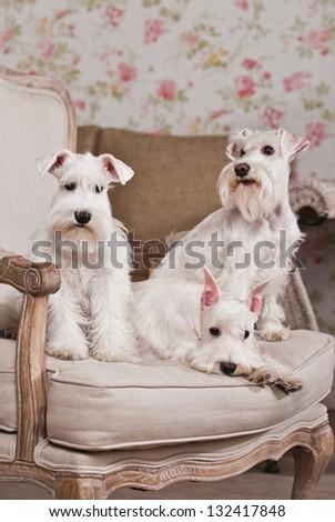 white schnauzer dog in interior #132417848