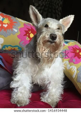 White Schnauzer dog with flower back ground #1416934448