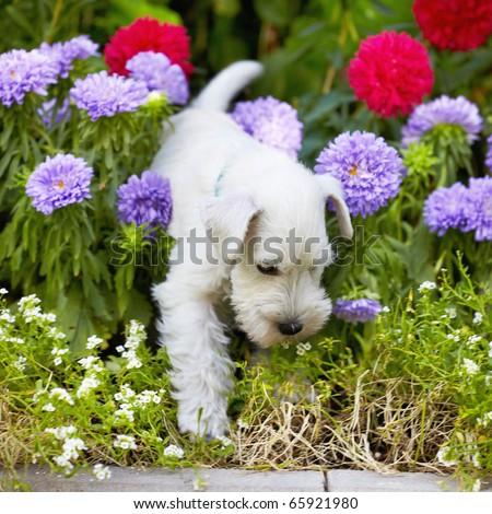 white schnauzer puppy #65921980