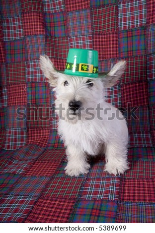 Scottish Terrier Puppies on White Scottish Terrier Puppy Wearing Green St Patricks Day Hat On Red