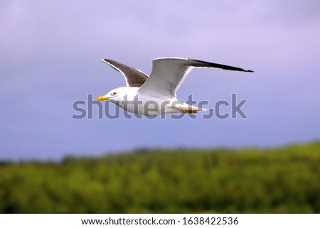 White seagull flies against the blue sky over over a green forest