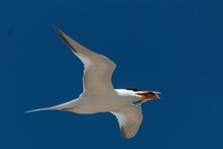 White seagull flying against clear, blue sky with fish in beak