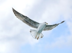 White seagull flying in the blue sky, one isolated seagull in blue background, flying bird in the sky,white isolated bird in the blue clear sky background, bird flying up