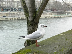 White seagull, Seine river and buildings in Paris background