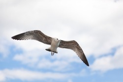 White seagull soars against beautiful sky with clouds. Sea bird