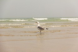 White Seagull walking on the ocean beach looking for food heavy waves muggy and cloudy