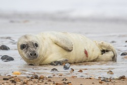White seal pup on a sandy beach with stones in winter