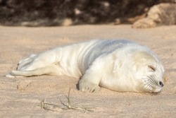 White seal pup sleeping on a sunny sandy beach