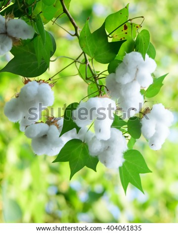 white seed cotton plant #404061835