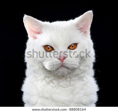 White Selkirk rex cat with orange eyes, isolated on black background