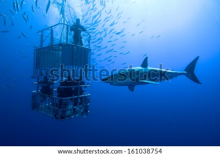 White shark, cage / great white shark swims around the cage