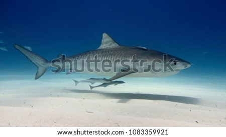 White shark swimming and looking for prey to eat in the deep blue of the oceans. #1083359921
