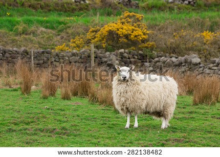 White Sheep ewe hog stood on spring grass in a farm field