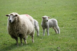 White sheep ewe, of unknown breed, with two lambs, one of which is partially hidden behind the ewe, on a grass field as the background.