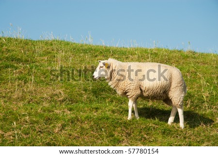 white sheep grazing on typical Dutch grass dike