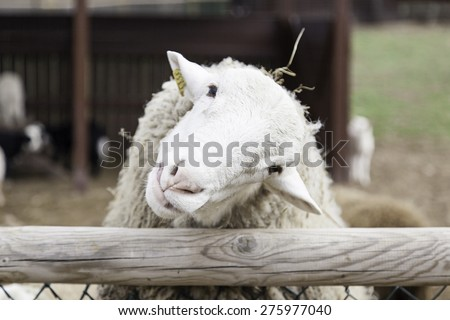 White sheep in rural farm, animals and nature