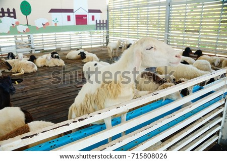 White sheep in the greenhouse