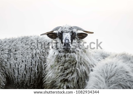 white sheep isolated. sheep head  #1082934344