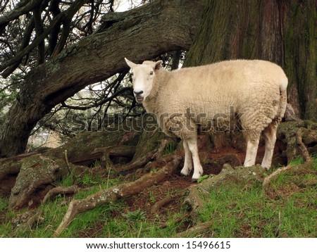 White Sheep - One Tree Hill - Aukland, New Zealand
