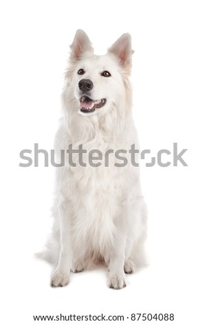 White Shepherd Dog in front of a white background - stock photo