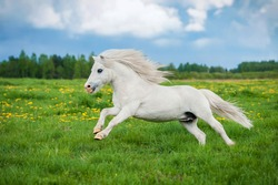 White shetland pony running on the field in summer