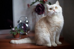 White shorthair british cat with bright yellow eyes portrait. British sly cat breed sitting on table in alarm clock background. White british sneaky cat looking hungry asking & waiting food.