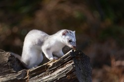 White Siberian Ermine During The Color Change To Winter Sitting On A Fallen Tree. Rare Animal Of Altai Mountains From The International Red Data Book. Predatory Mammal Of The Mustelidae Family.