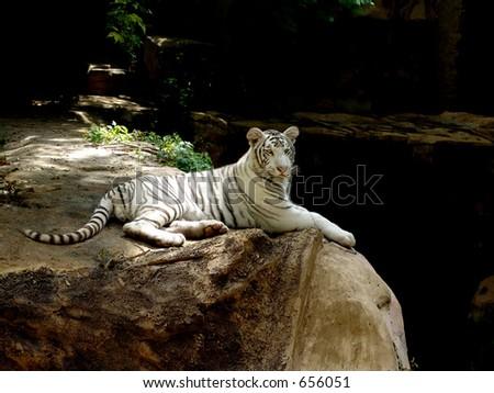 White Siberian's Tiger relax