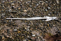 White skeleton of a fish on a dark rock surface of a beach. Scary sea monster. Ecology problem of drying lakes and rivers.