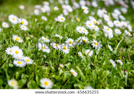 White small daisies blooming on grass background  #656635255