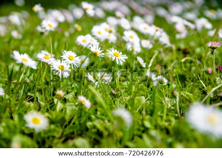 White small daisies blooming on grass background  #720426976