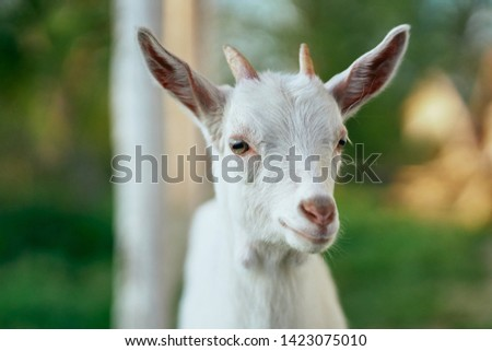 White small goat Friendship pasture landscape mammal nature countryside countryside walk