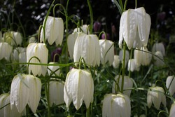 white snake's head fritillary (Fritillaria meleagris) in a natural woodland setting