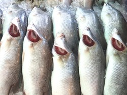 White snapper freeze on ice at the seafood market in Thailand. Seller open their gill to show the fresh.