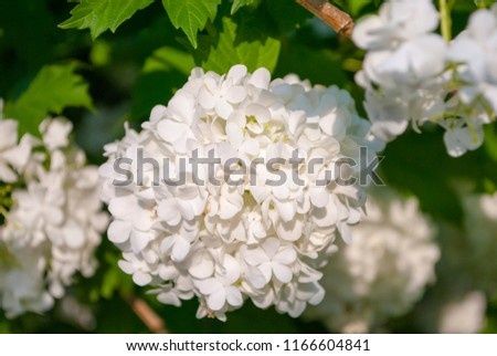 Free Photos Flowers Of Snowball Tree Viburnum Opulus White