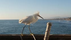 White snowy egret on wooden pier railings, Oceanside boardwalk, California USA. Ocean beach, sea water waves. Close up of coastal heron bird, seagull, seascape and sky. Funny animal behavior portrait.