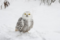 White snowy owl sits in the snow in the field