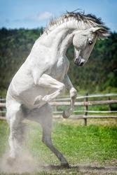 White spanish stallion in paddock