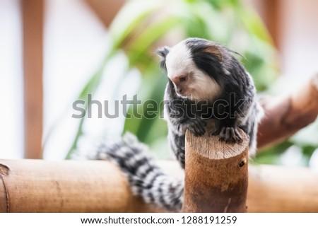 White spotted marmoset monkey