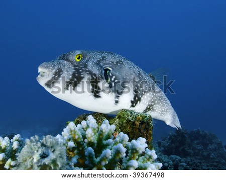 Spotted puffer for Does walmart sell fishing license