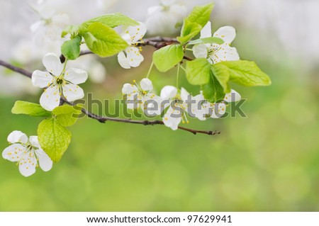 white spring flowers on a tree branch over green bokeh background close-up