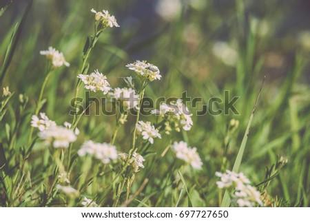white spring flowers on green...